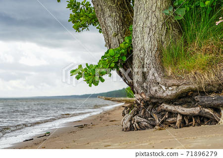 a living tree with washed roots on the shore of the Baltic Sea 71896279