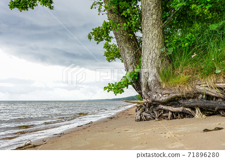 a living tree with washed roots on the shore of the Baltic Sea 71896280