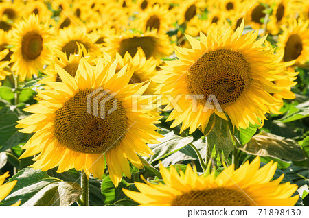 A small bee settles in a sunflower field 71898430