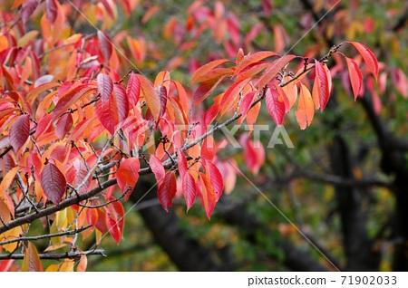 Autumn Leaves Yoshino Cherry Tree Milky Way Stock Photo 71902033 Pixta