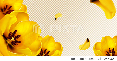 Yellow tulips and petals on transparent background 71905402