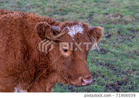 A closeup picture of a brown cow looking at the camera. Picture from Vomb, Scania, Sweden 71906039