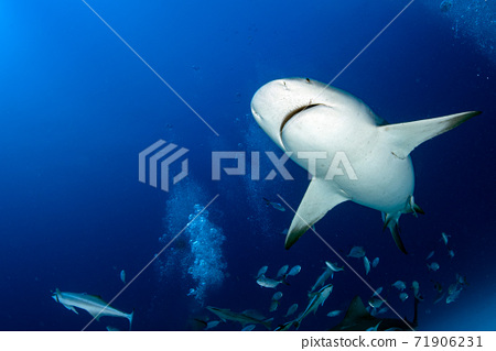 bull shark while ready to attack while feeding 71906231