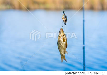 Fish on a hook. Fishing hobby and leisure. Silent hunting 71907008