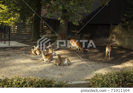 The lechwe in Krakow ZOO park, Poland 71911304