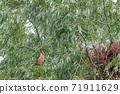 female red footed falcon (falco vespertinus) 71911629