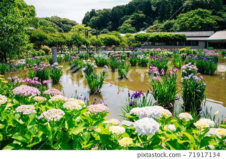 Hydrangea flowers garden at Dazaifu Tenmangu shrine in Fukuoka, Japan 71917134