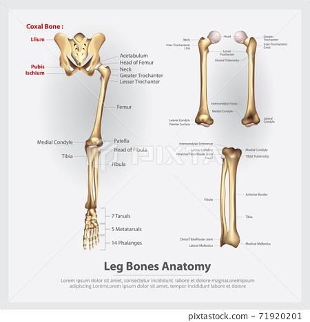 Human Anatomy Leg Bones Vector Illustration 71920201