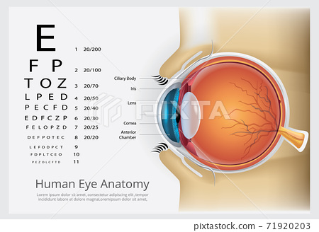 Human Eye Anatomy Vector Illustration 71920203