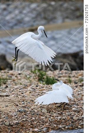 野生鳥類 白鷺 生態環境 71928758