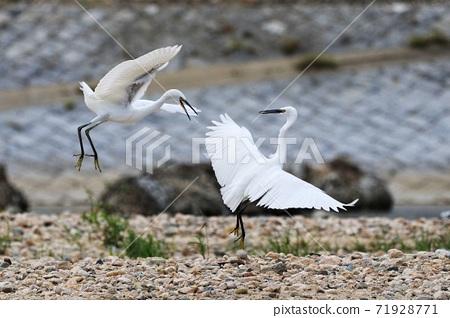 野生鳥類 白鷺 生態環境 71928771