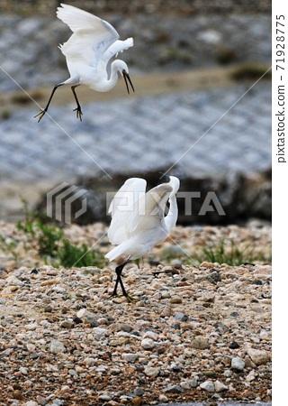 野生鳥類 白鷺 生態環境 71928775