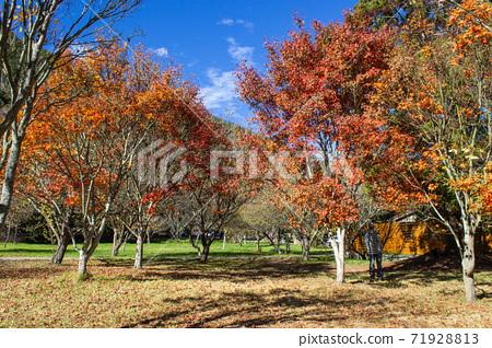 季節限定的大自然-武陵農場銀杏與楓紅 71928813
