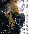 Colored winter ginkgo branches 71936806