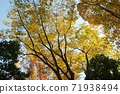 A large tree of autumn leaves 71938494
