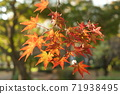 Branches of maple leaves which have colored leaves 71938495