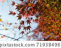 Branches of maple leaves which have colored leaves 71938496