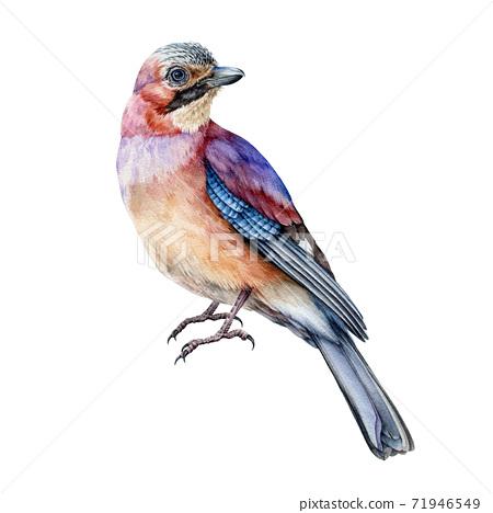 Jay bird realistic watercolor image. 71946549