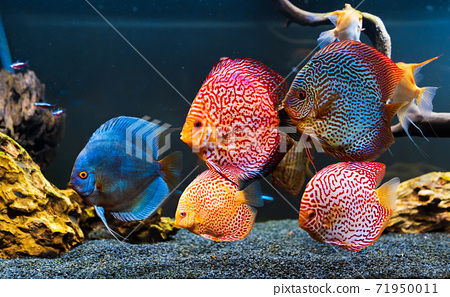 Colorful fish from the spieces Symphysodon discus in aquarium. 71950011