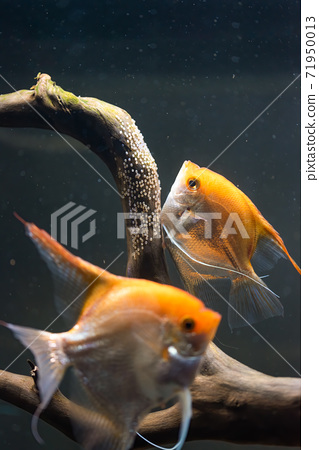 Pair of Gold Pterophyllum Scalare in aqarium, yellow angelfish lays its eggs. 71950013