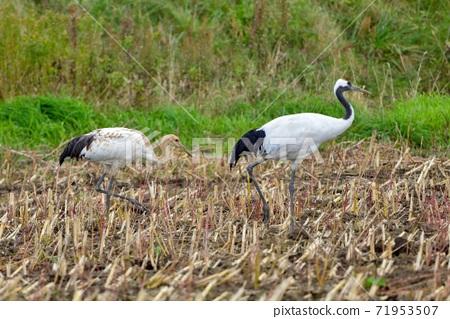 跟隨母鳥並在北海道尋找食物的幼小tanchozuru 71953507