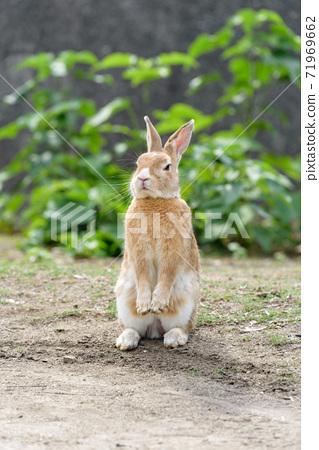 安娜兔站立在兩條腿上(奧之島) 71969662