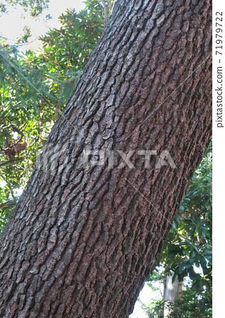 "Bark of Pinus pinaster ""Pinus pinaster"" has irregular crevices 71979722"