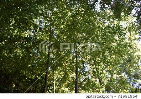대나무 덤불 전망 71981964
