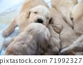 金毛獵犬寶貝 71992327