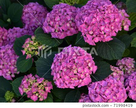 Hydrangea flowers 71998419