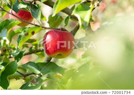 가을 제철을 맞은 사과 사과 양광 (10 월) 72001734