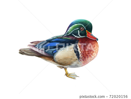 Carolina duck watercolor illustration.  72020156