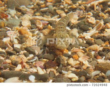 Gobiidae fish 72024948