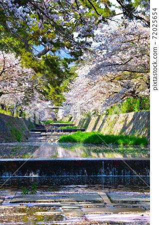 桜景 夙川 72025654