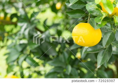 園林樹木的柚子 72028307