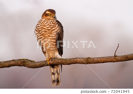 Eurasian sparrowhawk resting on branch in autumn. 72041945