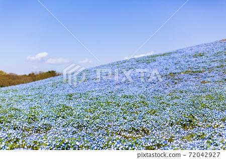 Nemophila in full bloom, Hitachinaka City, Ibaraki Prefecture 72042927