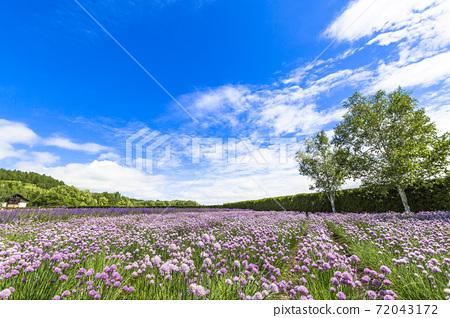 北海道中富良野町藍藍的天空和細香蔥花田 72043172