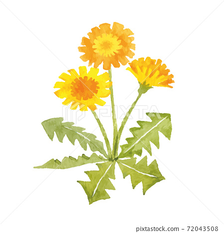 蒲公英水彩插圖春天的花朵 72043508