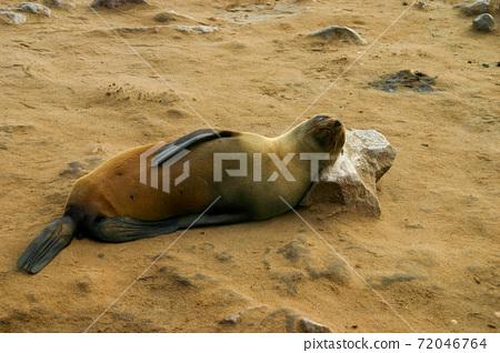 非洲南部奧托塞睡在岩石上作為枕頭 72046764