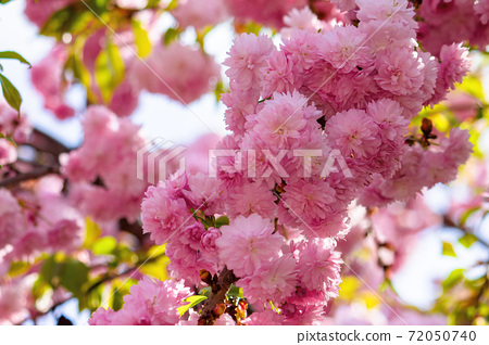 pink cherry blossom in spring time. lush flowers sakura on branches in morning light. beautiful nature background 72050740