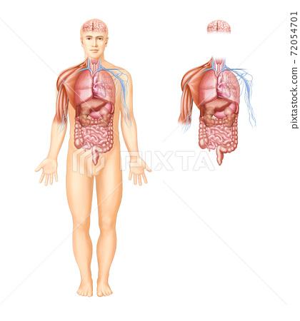 人體器官,肌肉和神經的解剖 72054701