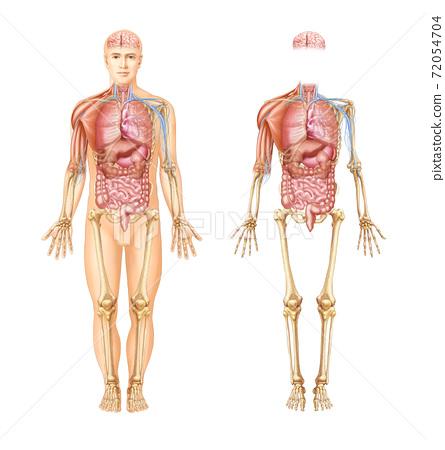 인체의 장기와 근육, 신경 및 골격 해부도 72054704