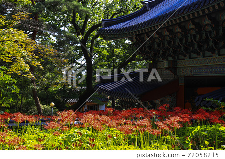 꽃무릇,길상사,성북구,서울 72058215