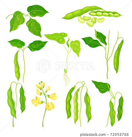 Flowering Bean Plant with Pod and Seeds as Vegetable Crop Vector Set 72058788