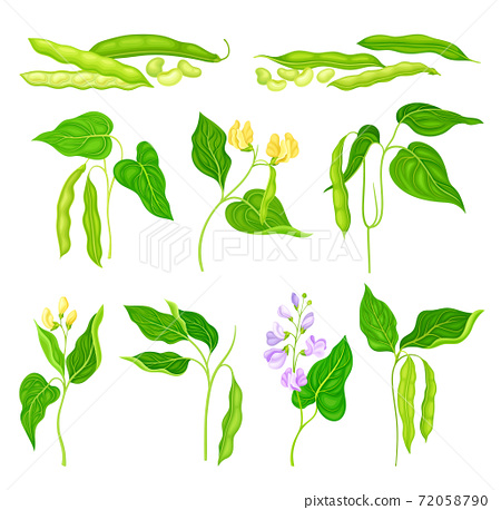 Flowering Bean Plant with Pod and Seeds as Vegetable Crop Vector Set 72058790