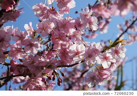 Kawazu Sakura *** KAWADU-SAKURA *** 72060230
