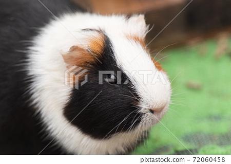 可愛的豚鼠 72060458