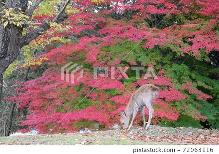 나라 공원 · 도비 히노 원지 물이 든 단풍과 사슴 72063116