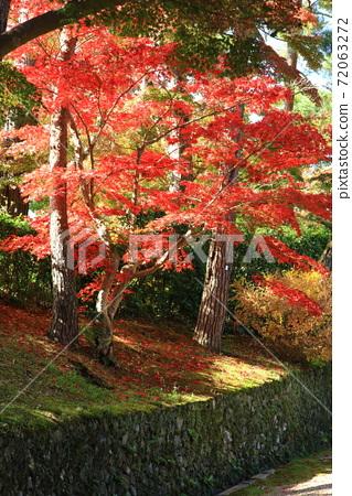 고성의 새빨간 단풍 나무 72063272